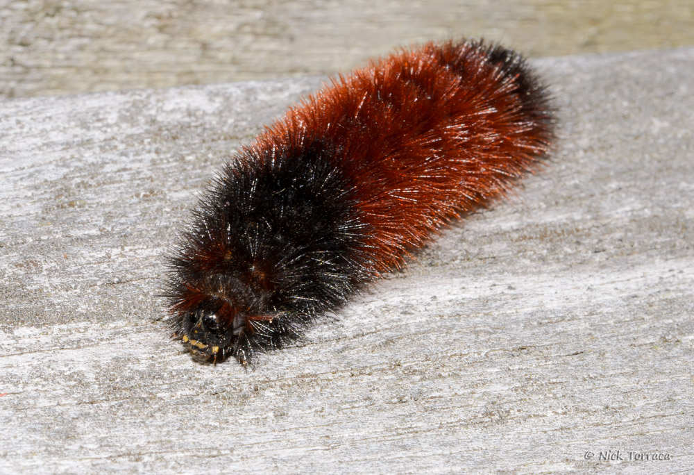 wooly bear by nickt in Member Albums