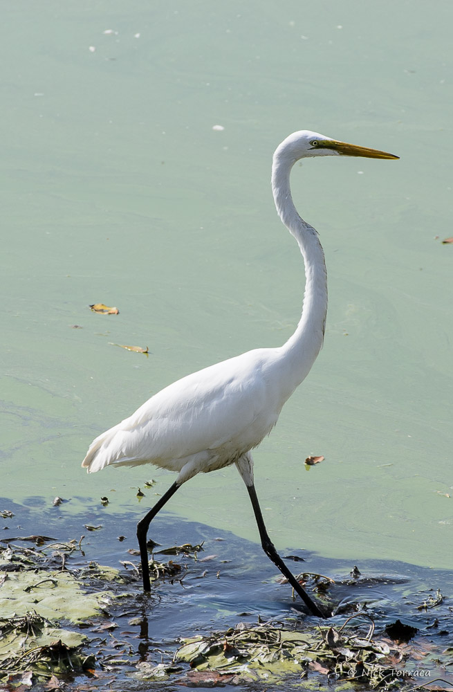 white egret by nickt in Member Albums