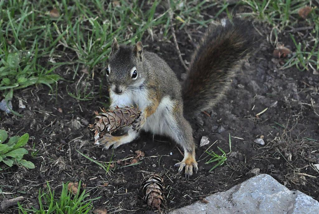 Squirrel and pine cone