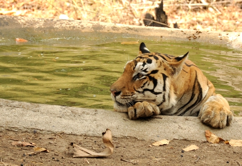 Tiger cooling off in a saucer
