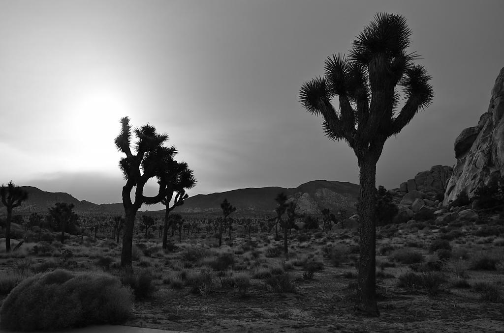 Joshua Tree Sillouettes by zen306 in Member Albums