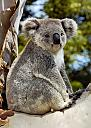 Baby Koala by Snap Happy in Member Albums