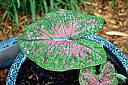 Rain drops on Caladiums, and warm Whiskers on Kittens... by Dave Hamilton in Weekly Photo Challenges