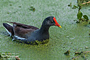 Common Gallinule by Don Kuykendall in Member Albums