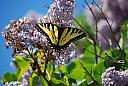Butterfly by JCPeterson in Member Albums