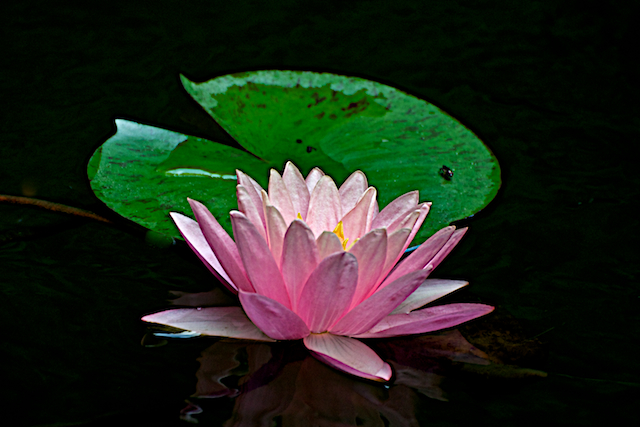 Water Lily in Bloom by Joseph Bautsch in Member Albums
