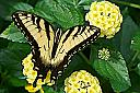 Male Eastern Tiger Swallowtail by Joseph Bautsch in Member Albums