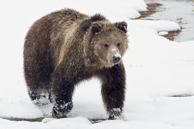 Grizzly Bear In The Snow (2) by Joseph Bautsch in Member Albums