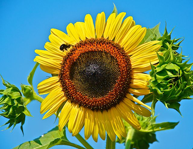 A Sunflower and the Bee by Joseph Bautsch in Member Albums