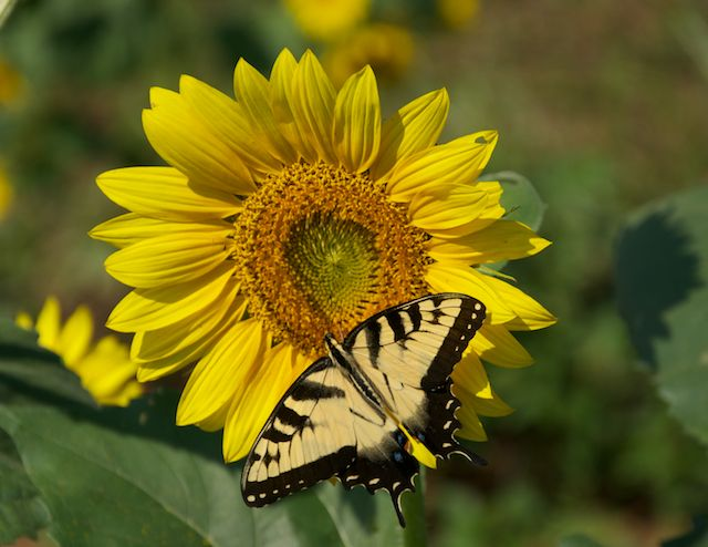 A Sunflower and a Butterfly by Joseph Bautsch in Member Albums