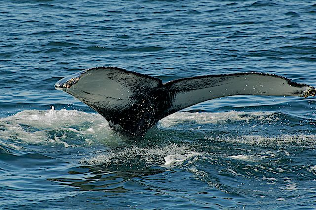 Whale Sounding off Cape Cod (2) by Joseph Bautsch in Member Albums