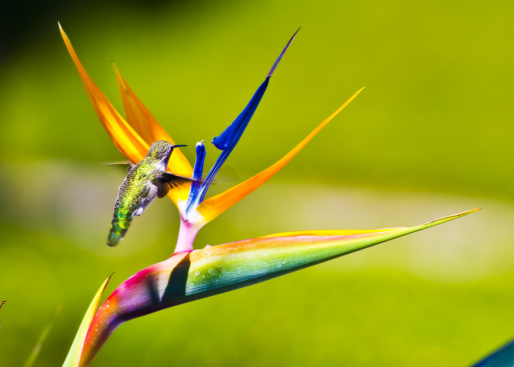 birds of paradise by gqtuazon in Member Albums