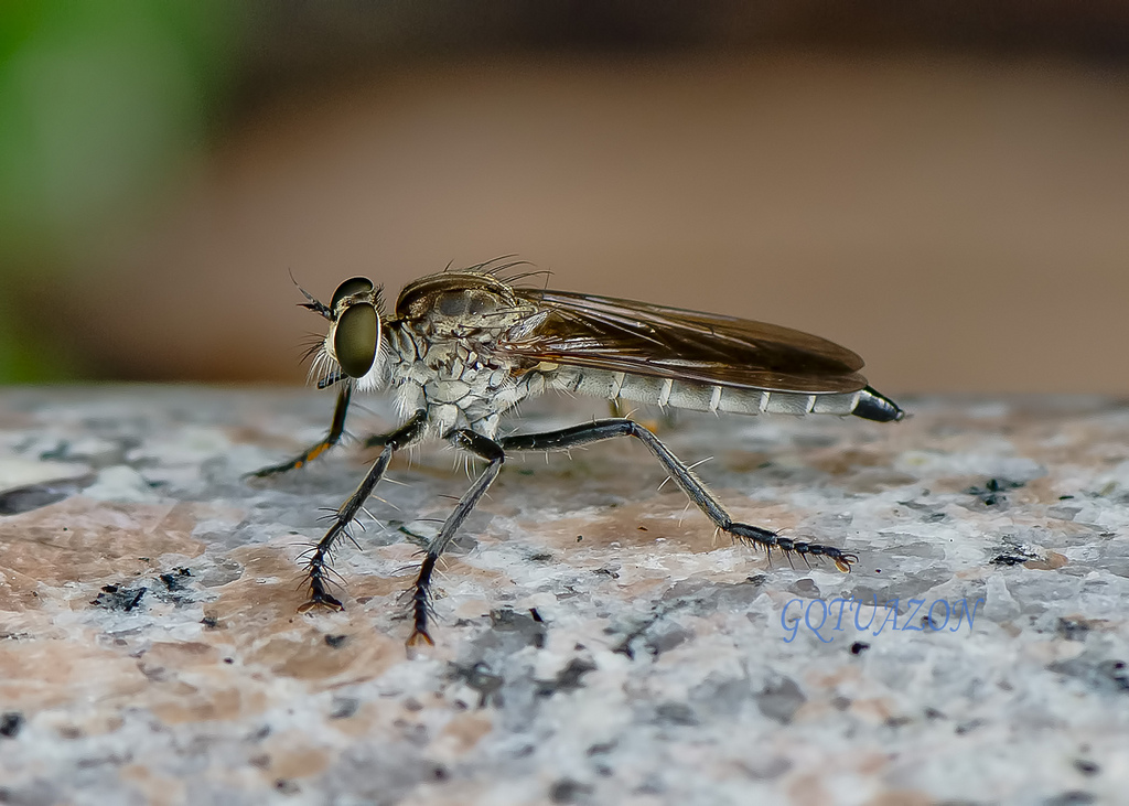 Robber fly  by gqtuazon in Member Albums