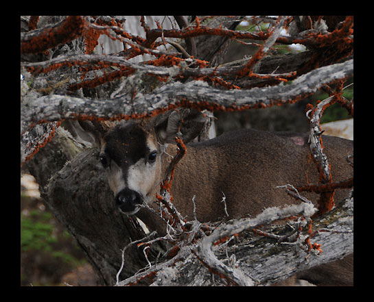White Tailed Deer (male) - Point Lobos by genxpix in Member Albums