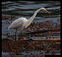 Egret watches for fish by genxpix in Member Albums