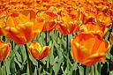 Sea of Tulips by nseguin