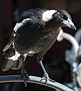 Magpie by NiknoDave