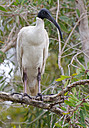 Ibis in the back yard by NiknoDave in Member Albums