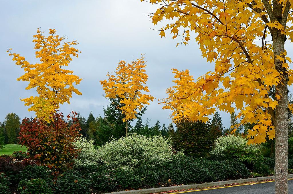 Yellow Maple Trees by TieuNgao in Member Albums