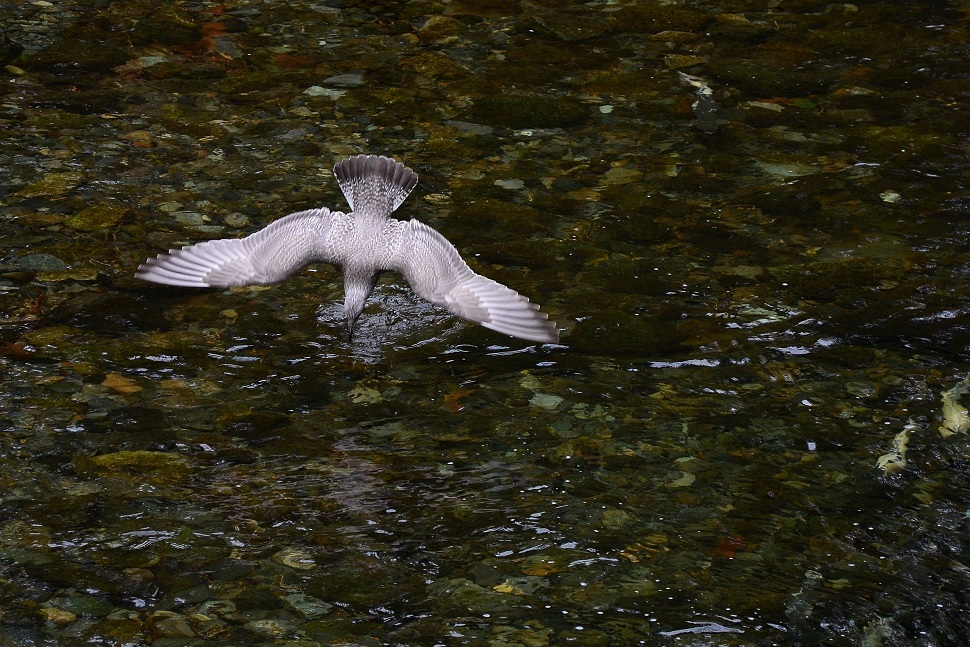Seagull at Salmon Run by TieuNgao in Member Albums