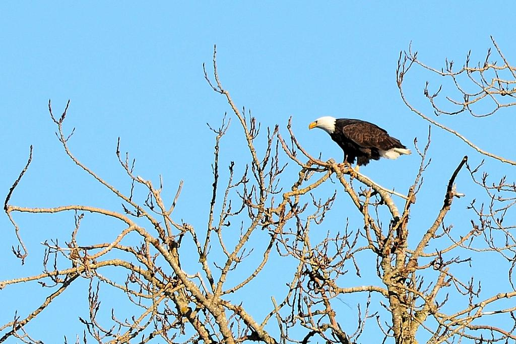 Eagle - Langford Lake by TieuNgao in Member Albums