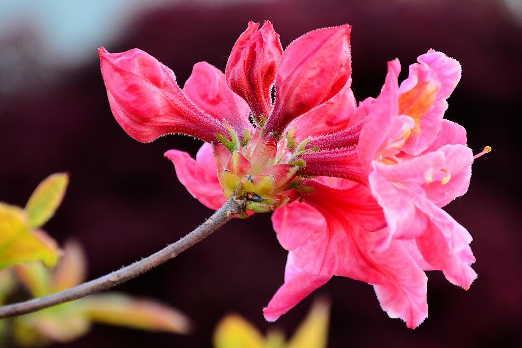 Red Azalea by TieuNgao in Member Albums