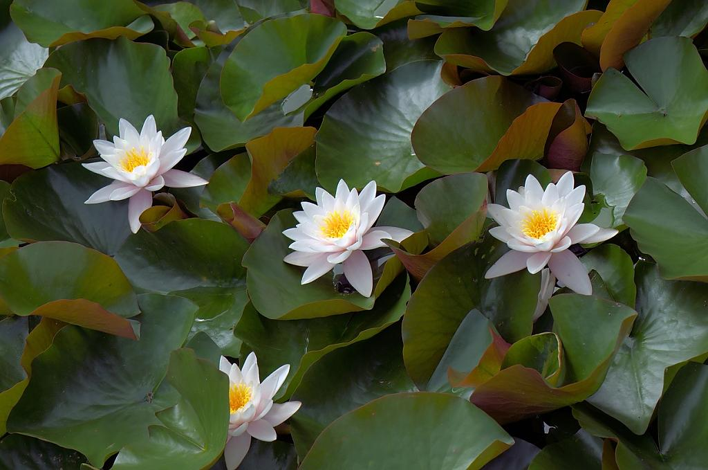 White Water Lily by TieuNgao in Member Albums