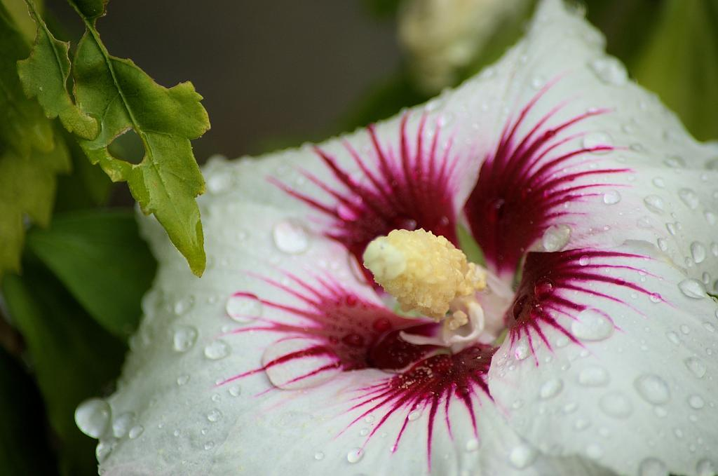 Hibiscus by TieuNgao in Member Albums