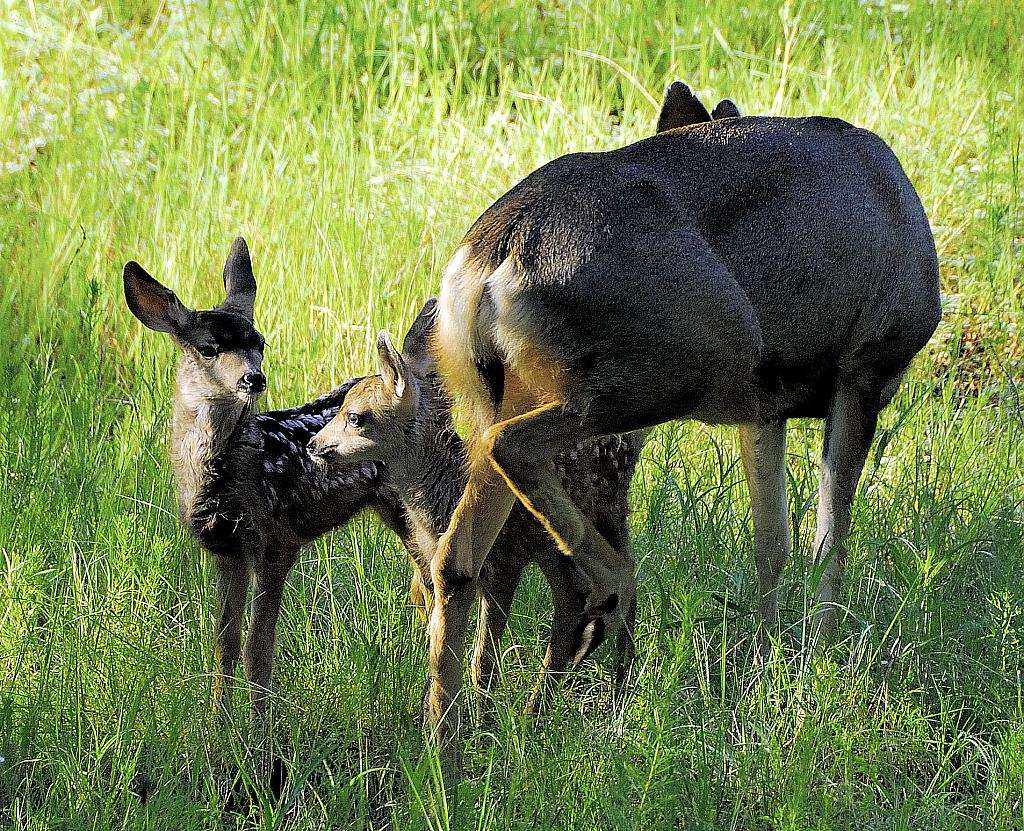 New Day Baby Deer by Ruidoso Bill in Member Albums