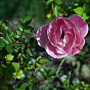 March Rose