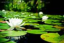 Lillies by sabroso in Member Albums