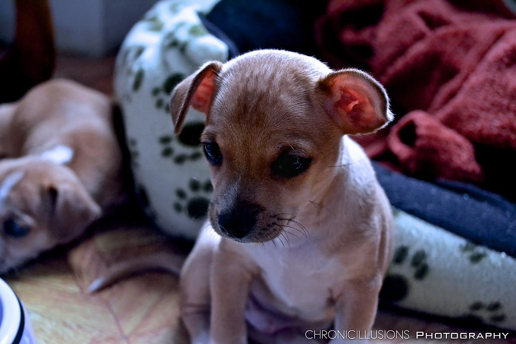 One of My Puppies by ChronicIllusionsTV in Member Albums
