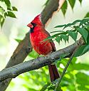 cardinal by PapaST in Member Albums