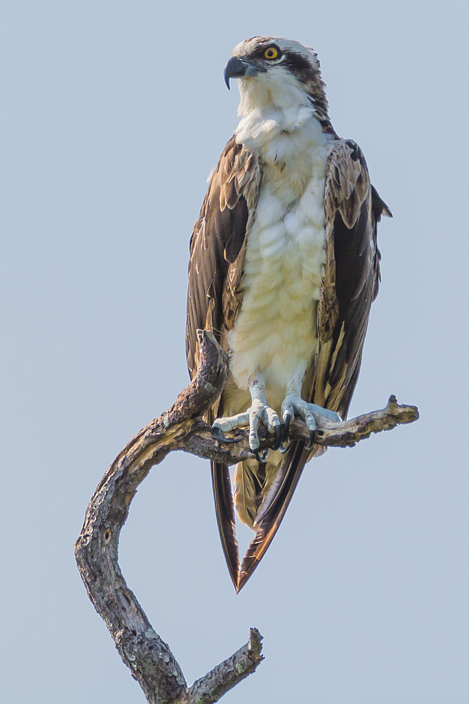 Watching Osprey by PapaST in Member Albums