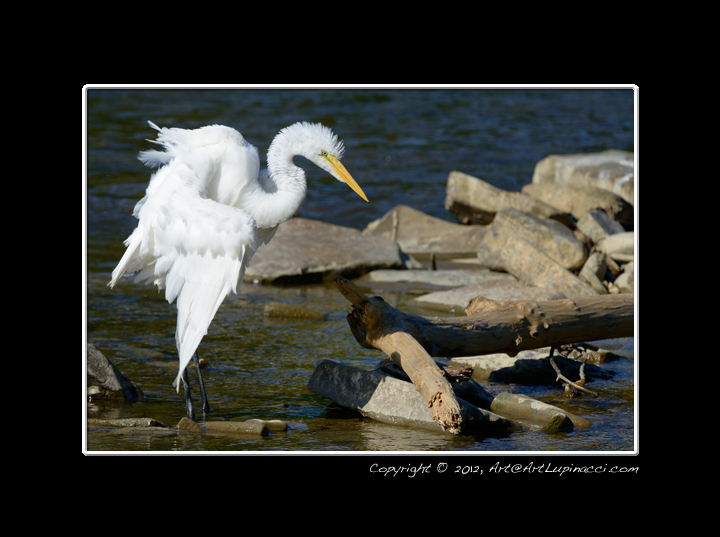 Great Egret by Photowyzard in Member Albums