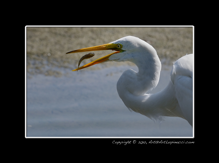 Egret Swallowing a Fish by Photowyzard in Member Albums