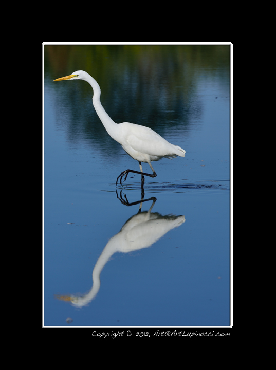 Great Egret out for a walk by Photowyzard in Member Albums