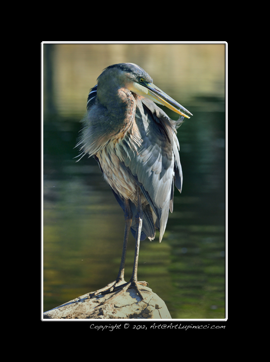 Great Blue Heron by Photowyzard in Member Albums