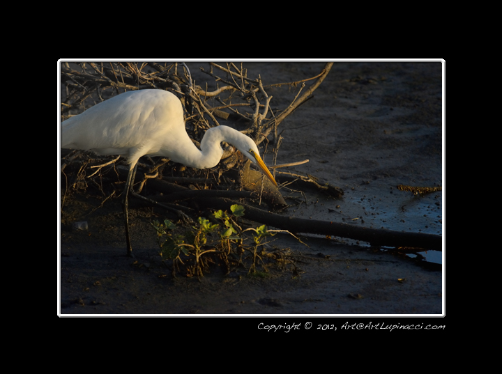 Egret looking for Food in the Early Morning by Photowyzard in Member Albums