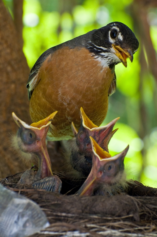 Mother Robin by Photowyzard in Member Albums