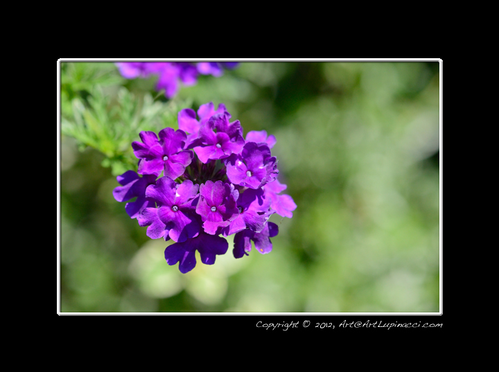 Purple Flowers by Photowyzard in Member Albums