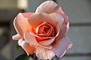 Pretty Rose by Philnz in Member Albums