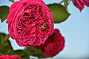 Roses by Philnz in Member Albums