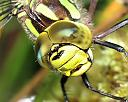 southern hawker by evan in Member Albums
