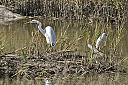 A couple of Egrets in the marsh by grandpaw in Member Albums