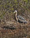 Great Blue Heron by grandpaw in Member Albums