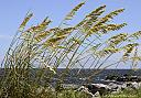 Sea Oats by grandpaw in Member Albums