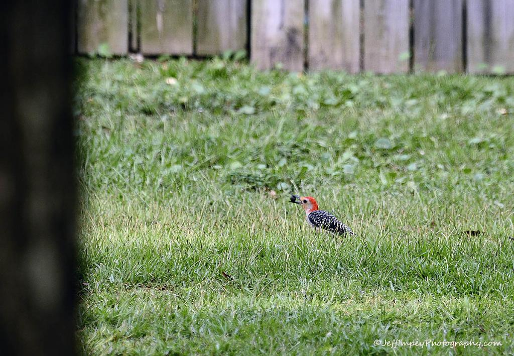 Red Bellied Woodpecker getting lunch by grandpaw in Member Albums