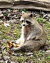 Rocky the Raccoon by grandpaw in Member Albums