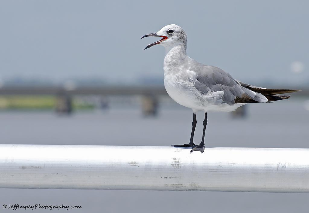Seagull gasping for breath due to the heat. by grandpaw in Member Albums